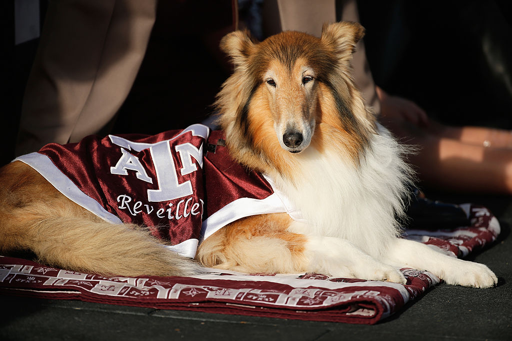 Reveille, the official mascot of Texas A&M, sits near the end zone during a game